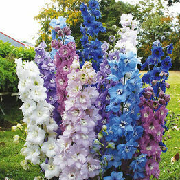 DELPHINIUM High Society Mixed F1