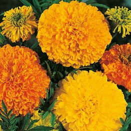 MARIGOLD (African) Crackerjack Mixed