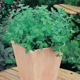 OREGANO (Greek)