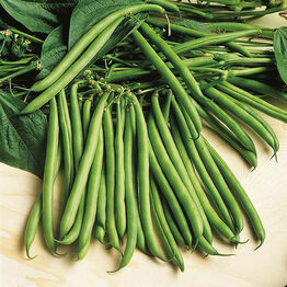DWARF FRENCH BEAN Rondo Seeds