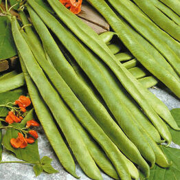 RUNNER BEAN Scarlet Empire (Stringless) Seeds