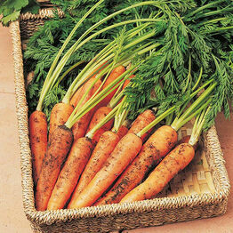 CARROT Resista-Fly Tozresis F1 Seeds