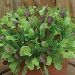 MIXED Lettuce Leaves Seeds