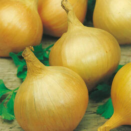 ONION Bedfordshire Champion Seeds
