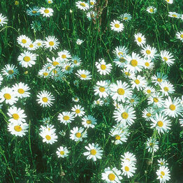 WF Ox Eye Daisy